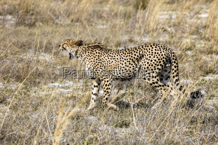 botswana okavango delta cheetah hunting