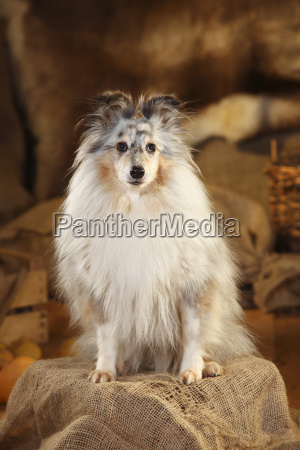 portrait of shetland sheepdog sitting in