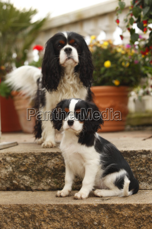 cavalier king charles spaniel with puppy