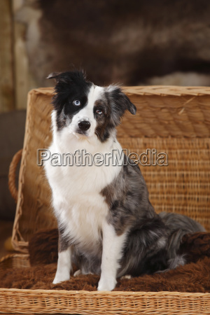 miniature australian shepherd sitting in a