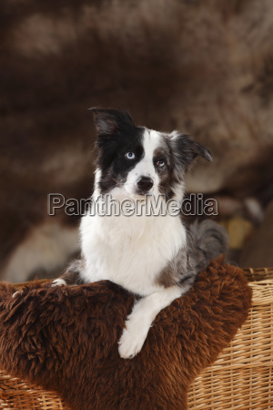 miniature australian shepherd on sheepskin sitting