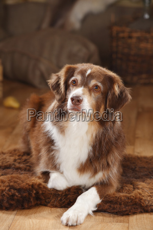 portrait of red tri australian shepherd
