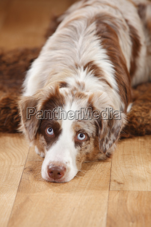 portrait of red merle miniature australian