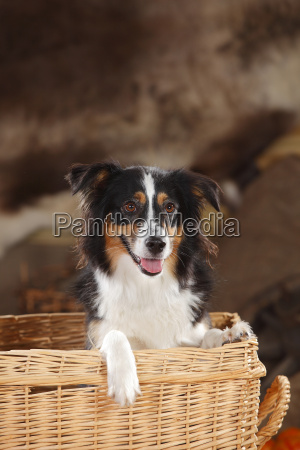 portrait of miniature australian shepherd in