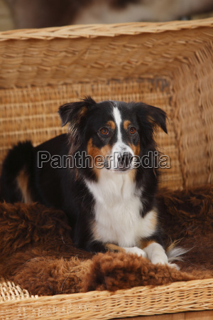 portrait of miniature australian shepherd lying