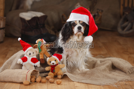 cavalier king charles spaniel with christmas
