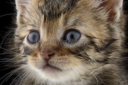 portrait of tabby kitten felis silvestris