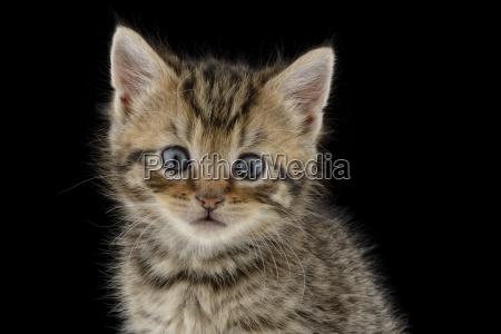portrait of tabby kitten felis silvestris