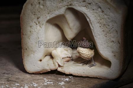 peanut bird hiding in bread cave