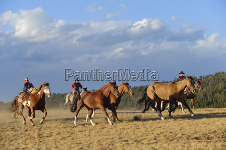 usa wyoming cowboys and cowgirl herding