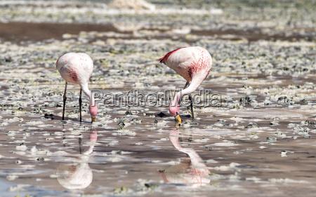 bolivia two andean flamingos phoenicoparrus andinus