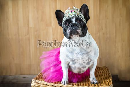 porträt, von, französisch, bulldog, verkleidet, als - 16943916