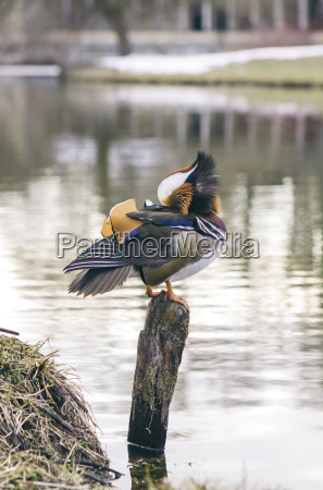 mandarin duck sitting on wooden pole