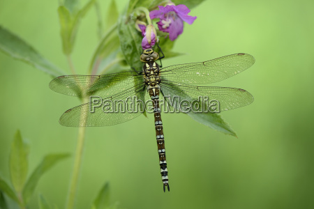 southern hawker hanging on a blossom