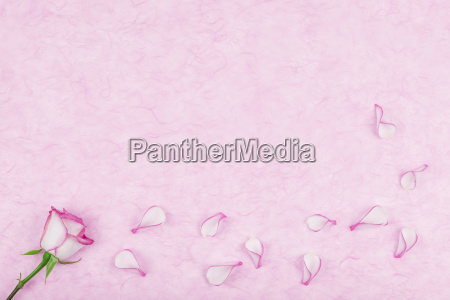 rose pedals on pink tissue paper