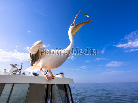 namibia erongo province white pelican standing