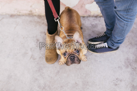 portrait of french bulldog standing between