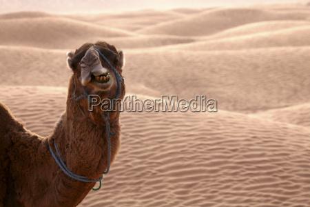 dromedary eating in desert