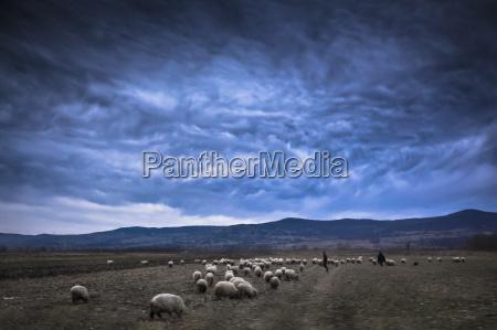 rumania transylvania south carpathia flock of