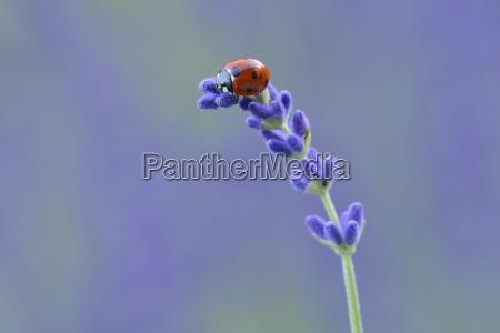 seven spot ladybird coccinella septempunctata on
