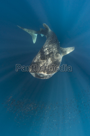 indonesia papua cenderawasih bay whale shark