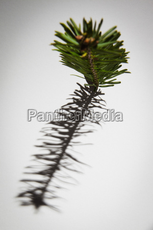 close up of pine twig and