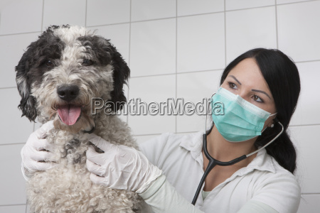 young veterinarian examining dog in clinic