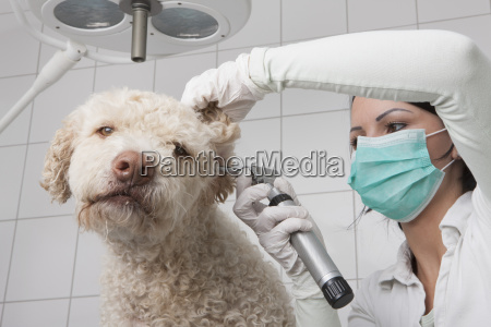 young female veterinarian examining dogs ear