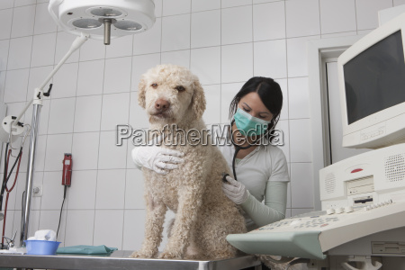 young veterinarian examining dog in medical