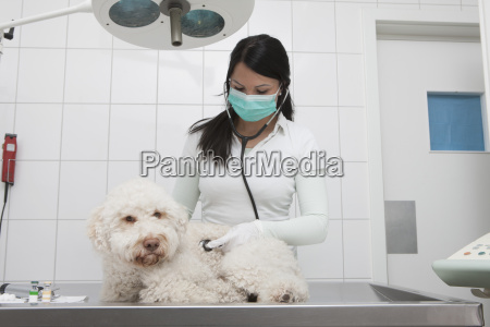 young veterinarian examining dog on table