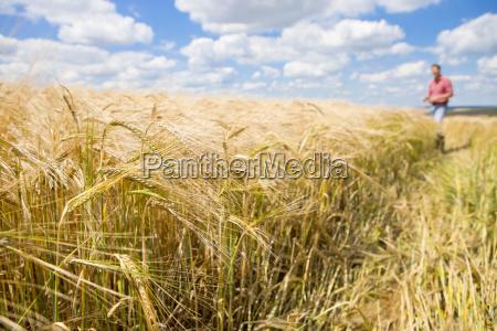 sunny rural barley crop field in