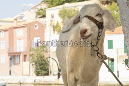 white goat tied to tree in