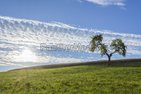 lone tree in meadow with sun