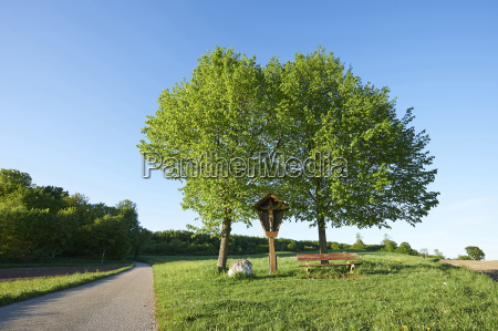 landscape with silver birch betula pendula