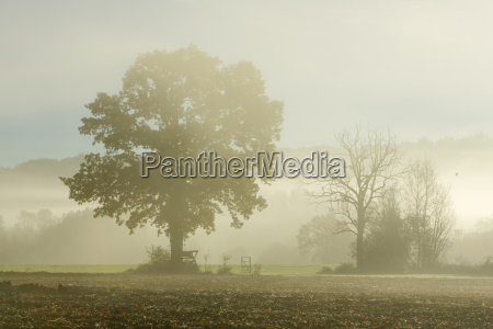 oak tree in field with morning