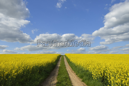 dirt tracks through canola field schmachtenberg