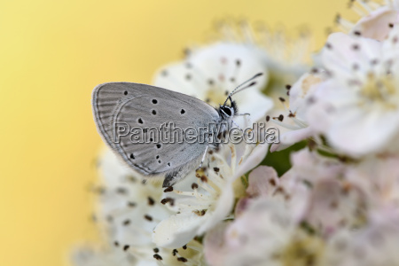small blue on blossom