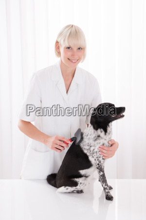 female vet grooming dogs hair
