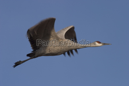 sandhill crane grus canadensis bosque del