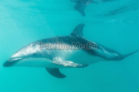 dusky dolphin lagenorhynchus obscurus underwater off