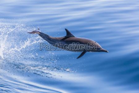 long beaked common dolphin delphinus capensis