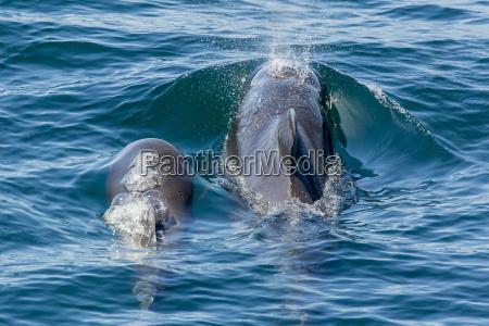 short finned pilot whale globicephala macrorhynchus