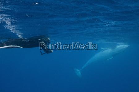 adult dwarf minke whale balaenoptera acutorostrata