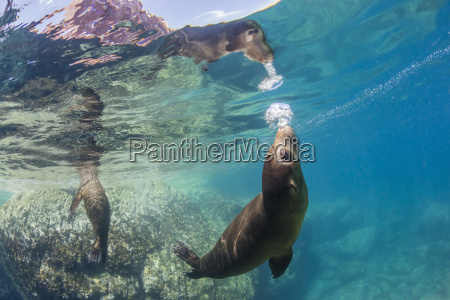 adult california sea lions zalophus californianus