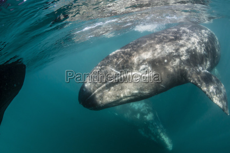 california gray whale eschrichtius robustus mother