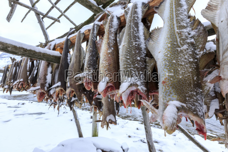 drying codfish a typical norwegian product