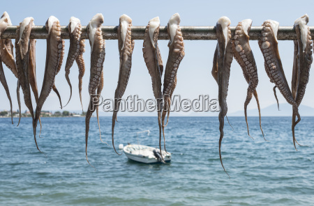 greece agria octopus hanging to dry