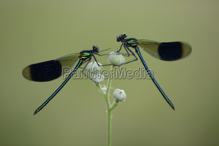 two male banded demoiselles on buds