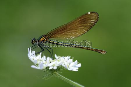 female beautiful demoiselle on blossom