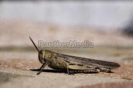 locust acrididae